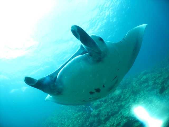 石垣島 マンタトライアングル ダイビング